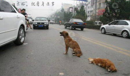 Even in heavy traffic, the dog just won't leave its friend. The dog ask for help from the witness with it loyalty